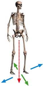 איזון שלד שריר